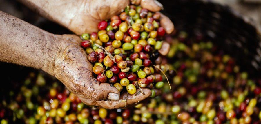 Nach der Ernte werden die Kaffeekirschen in der Kaffeeaufbereitung weiterverarbeitet