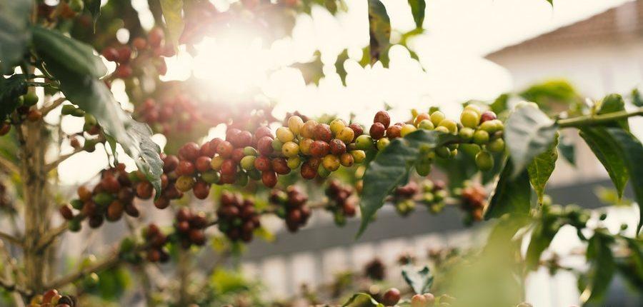 Zweige einer Kaffeepflanze im Sonnenlicht